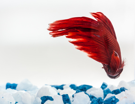 Tail of red betta fish, fighter fish
