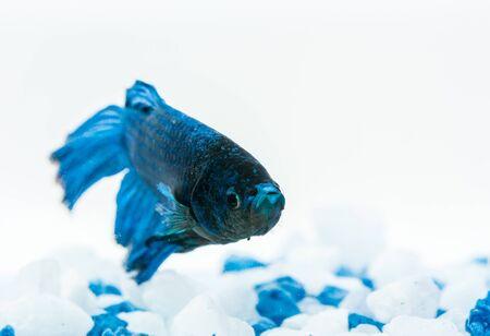Blue betta fish, fighter fish, in aquarium with blue and white stones