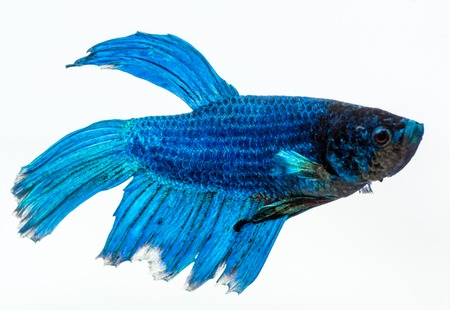 blue fish: Blue betta fish, fighter fish, in white background