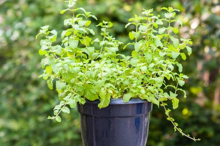 Mint plants in a black plastic pot
