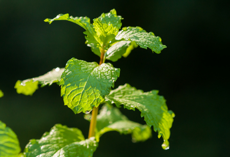 Close up of mint leaves in natural sunlight Stock Photo