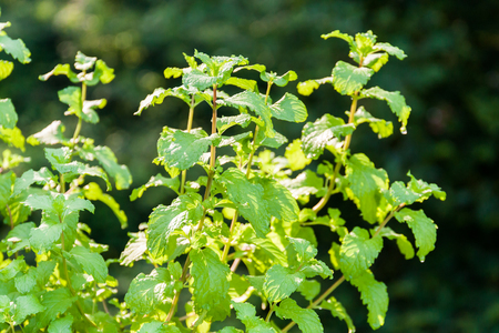 Mint plants in natural sunlight