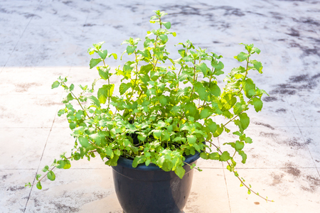 Mint plants in a plastic pot on terrace