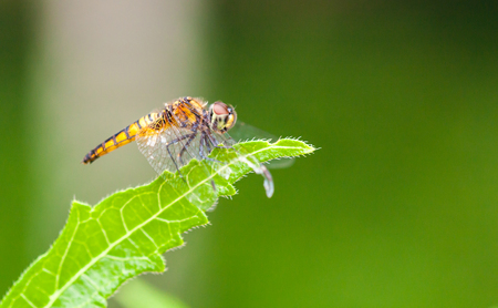 Dragon Fly sitting on a green leaf with natural out of focus background Stock Photo