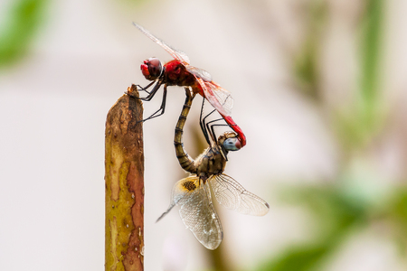 Closeup of two dragonflies mating in nature Stock Photo