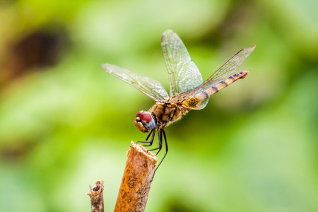 Dragonfly sitting on a stick in nature Stock Photo