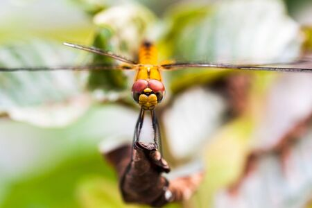 Front view of dragon fly sitting on a dry leaf of a plant
