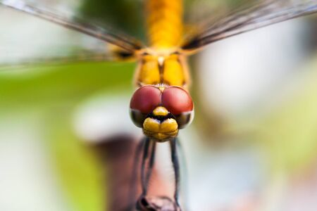 Closeup of the front view of yellow dragon fly Imagens