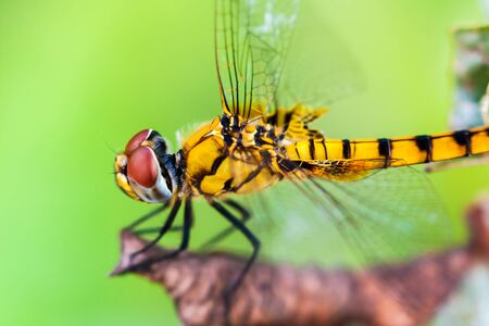 Side view of yellow dragonfly sitting on a dry leaf