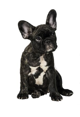 Close up of Brindle French bulldog puppy standing isolated on white background.
