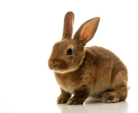 Bebé de conejito marrón aislado sobre fondo blanco.