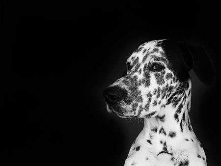 Dalmatian on black background Stock Photo - 2570135