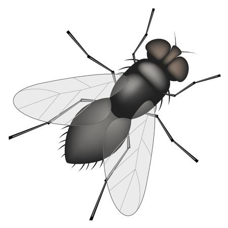 Vector house fly