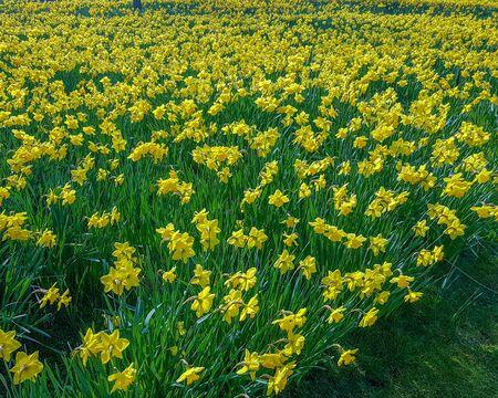 Yellow Daffodil in a garden in spring season