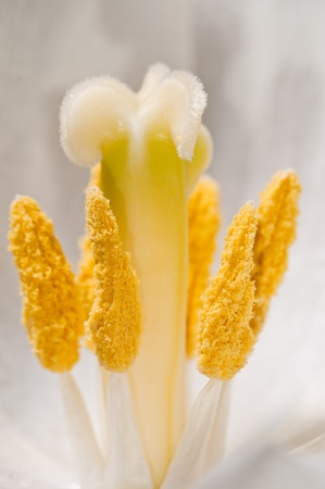 Extreme close up of pollen inside a white flower