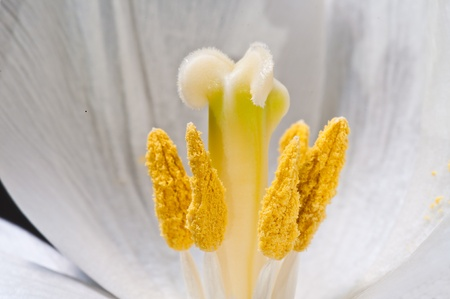 Extreme close up of pollen inside a white flower photo