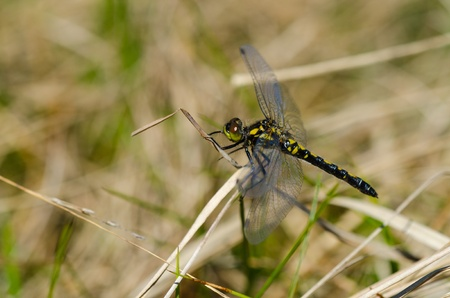 Yellow and black dragon fly sitting on a marsh photo