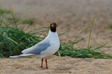 A common black-headed Gull standing at the beach Stock Photo