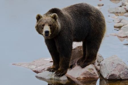 Braunbär Ursus arctos Angeln von Lachs in einem Fluss