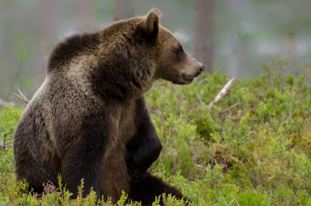 Brown bear sitting and watching something in the woods