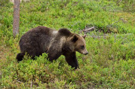 ursus: Brown bear walking calmly in the woods