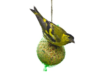 Eurasian siskin feeding on a giant fat ball with seeds isolated on white