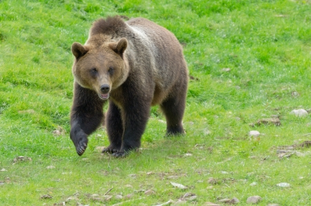 Angry brown bear walking on a field Stock Photo