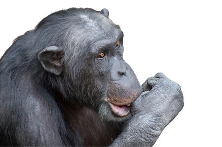 Chimpanzee sucking his thumb isolated over white background