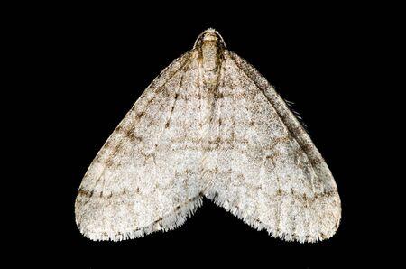 moth: Moth (lepidoptera) isolated macro on black background Stock Photo