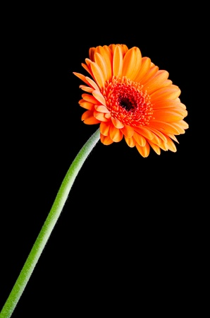 officinalis: Marigold (calendula officinalis) vertical isolated on black background
