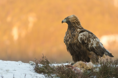 Golden eagle (aquila chrysaetos) feeding on a dead deer in front of a sunny mountain
