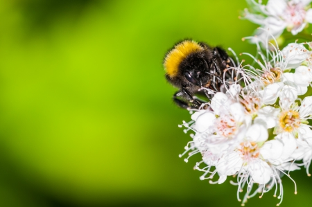 Bumble bee on white flower in summer time