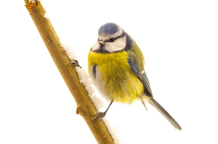 Blue Tit (Parus caeruleus) sitting on a twig isolated on white photo