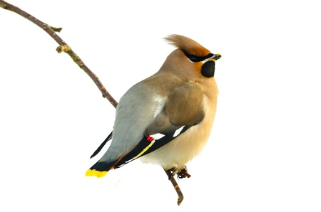 Bohemian Waxwing (Bombycilla garrulus) sitting on a twig isolated on white Stock Photo - 19259829