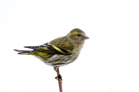 Female eurasian siskin isolated on white background photo