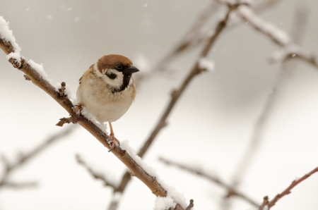 Eurasian Tree Sparrow  Passer montanus  sitting in a tree in winter time photo