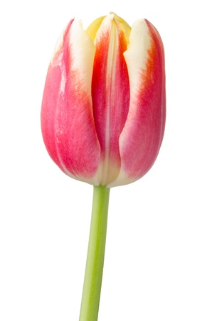 Purple and yellow tulip isolated on white background