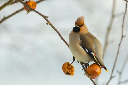 Eurasian waxwing sitting in an apple tree in winter time