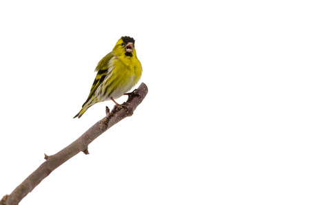 Singing yellow bird  siskin  with open beak isolated on white background Standard-Bild