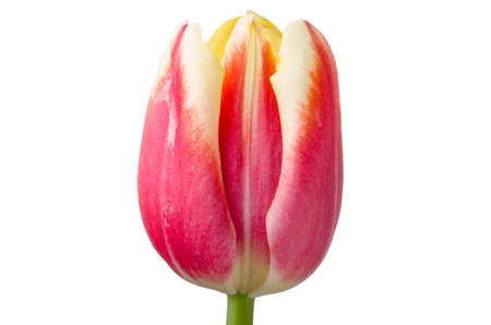 Tulip yellow and red isolated on white background photo