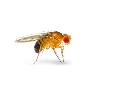 Single fruit fly  drosophila melanogaster  on white background