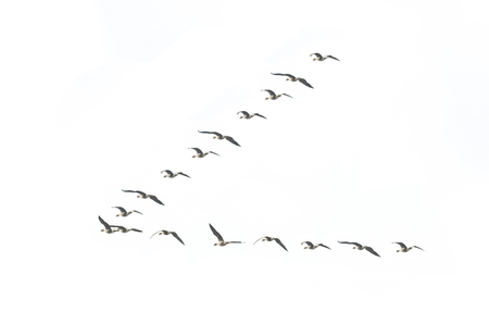 Migrating geese formation isolated on white background