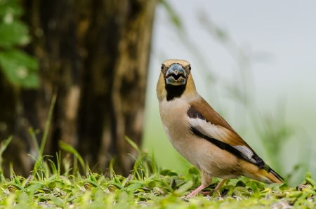 Hawfinch  Coccothraustes coccothraustes  bird sitting on the ground in summer time photo
