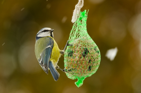 Blue tit eating from a fat ball while snow is falling in winter time