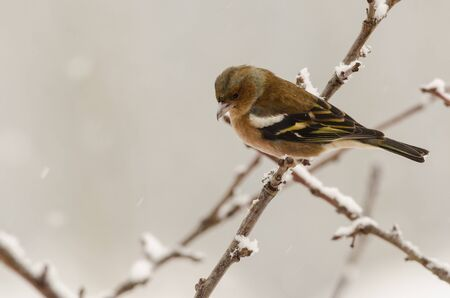 Female chaffinch bird sitting in a tree in winter time with blurred background photo