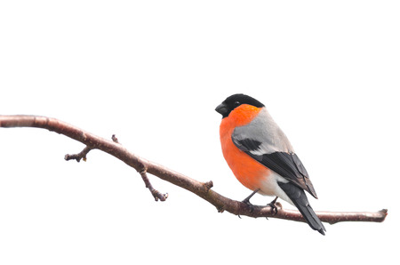 bird beaks: Bullfinch sitting on a branch isolated on white background