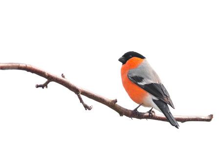 pajaros: Camachuelo sentado en una rama aislada en el fondo blanco Foto de archivo