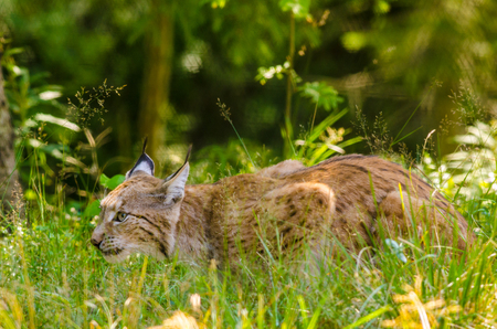 lince rojo: la caza del lince