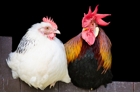 Rooster and hen couple sitting close together on black background Standard-Bild