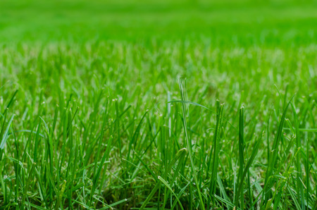 Close up of green grass on a fresh lawn